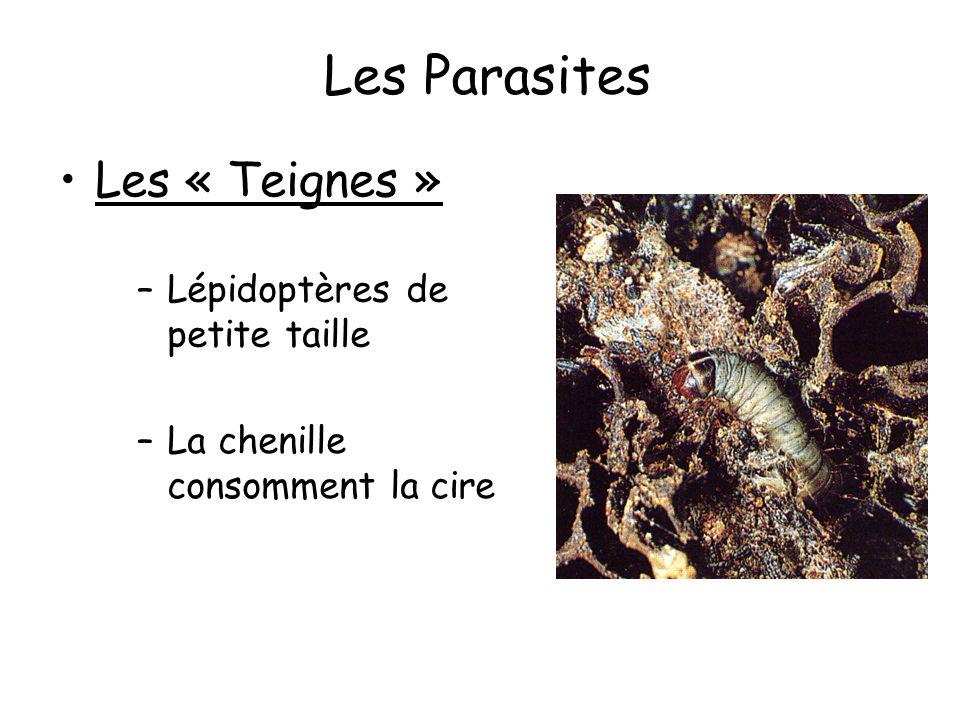 Les Parasites Les « Teignes » Lépidoptères de petite taille
