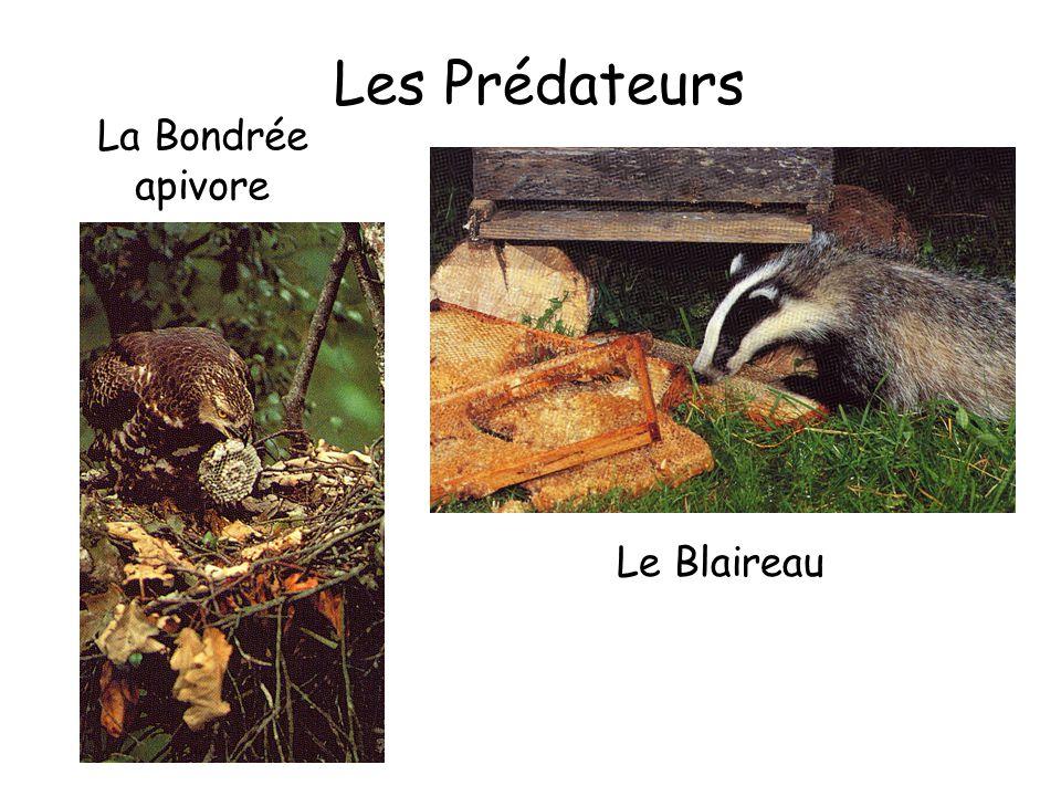 Les Prédateurs La Bondrée apivore Le Blaireau