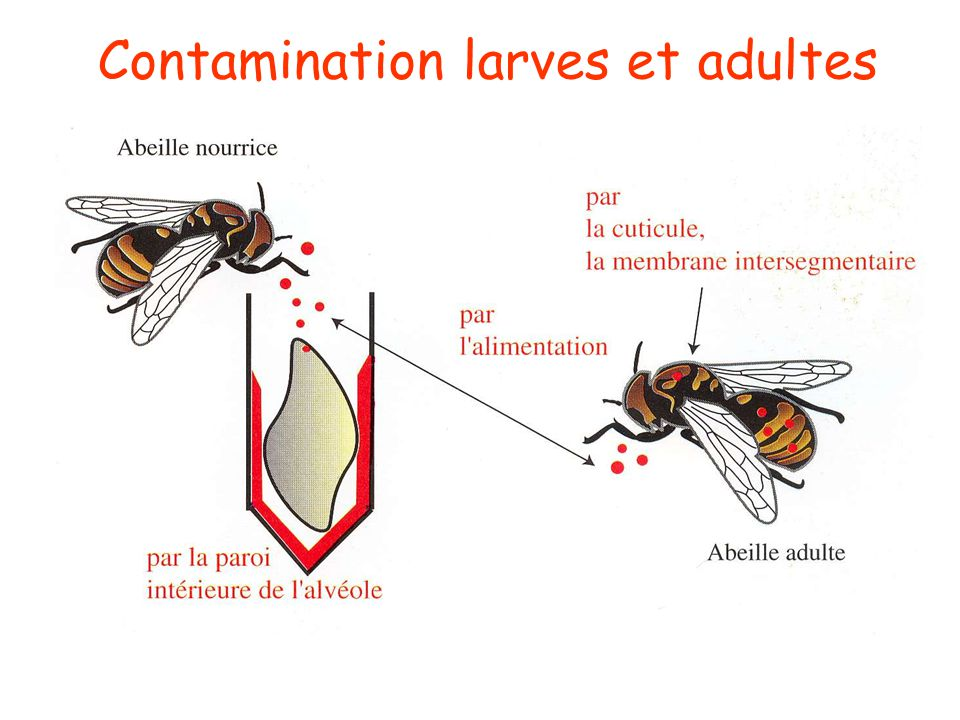 Contamination larves et adultes