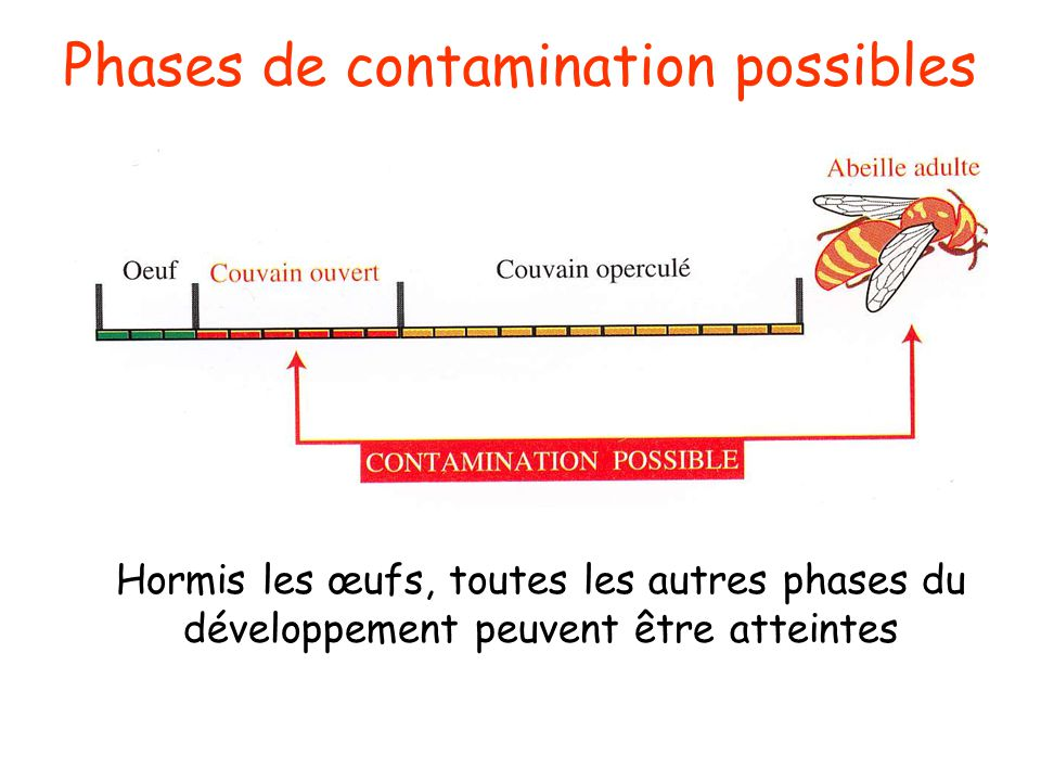 Phases de contamination possibles