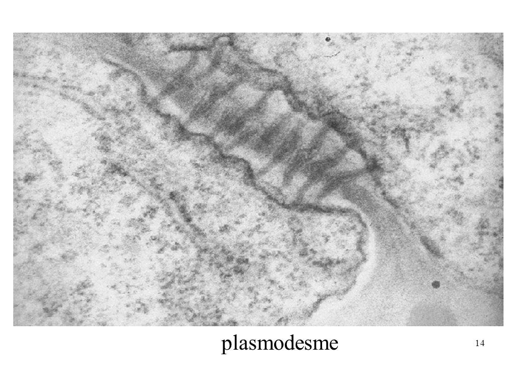 plasmodesme