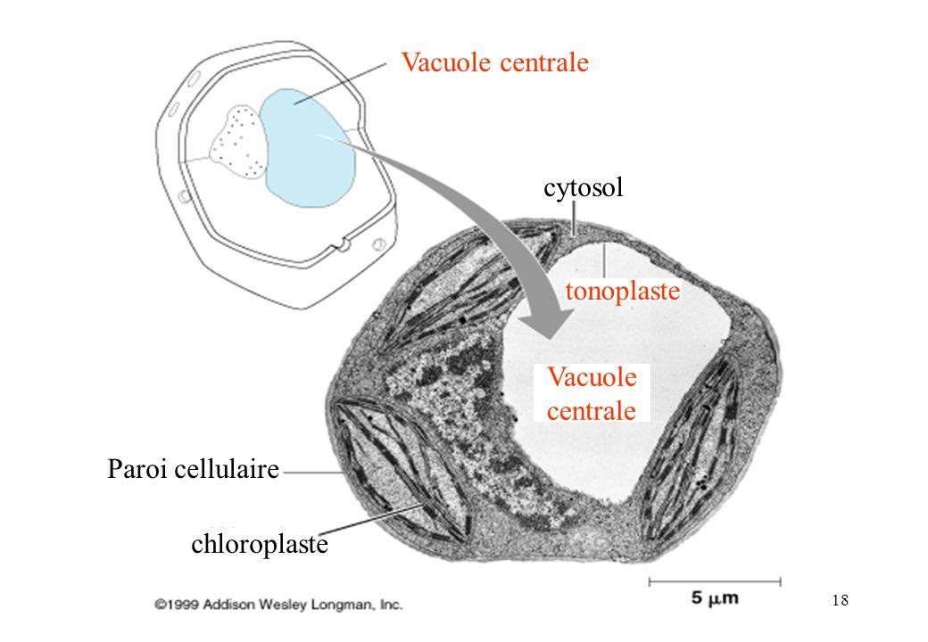 Vacuole centrale cytosol tonoplaste Vacuole centrale Paroi cellulaire chloroplaste