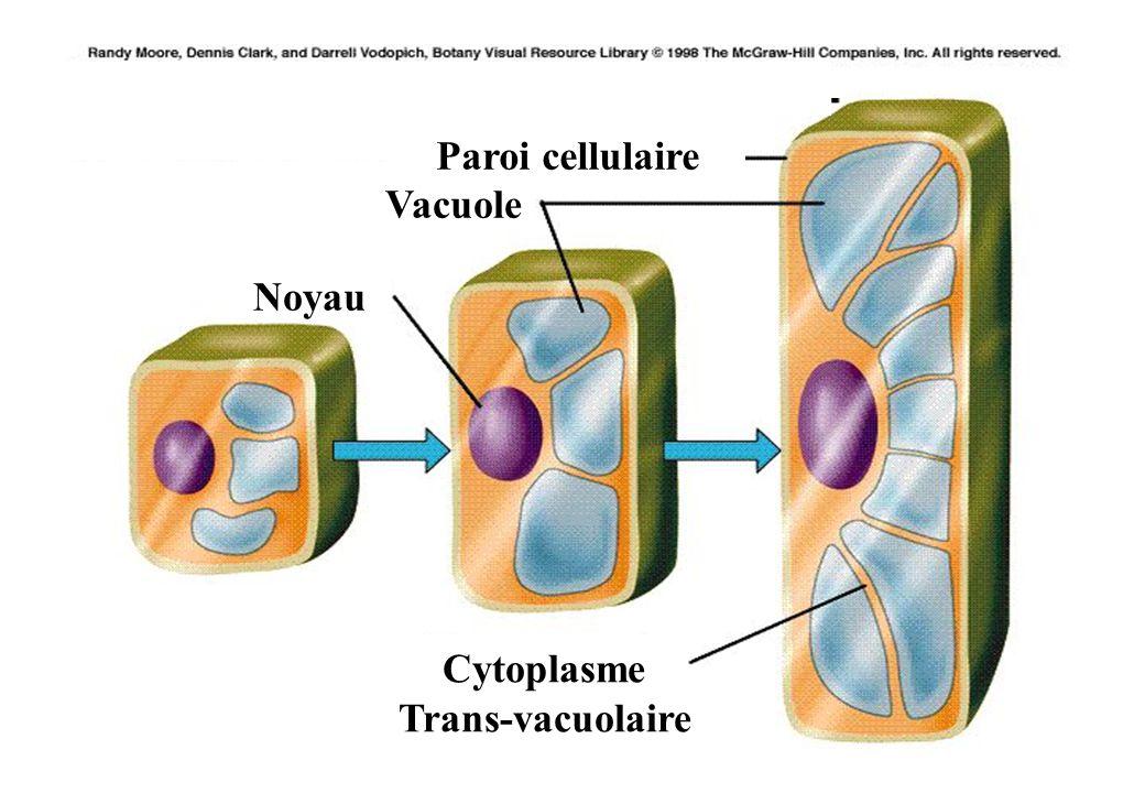 Paroi cellulaire Vacuole Noyau Cytoplasme Trans-vacuolaire