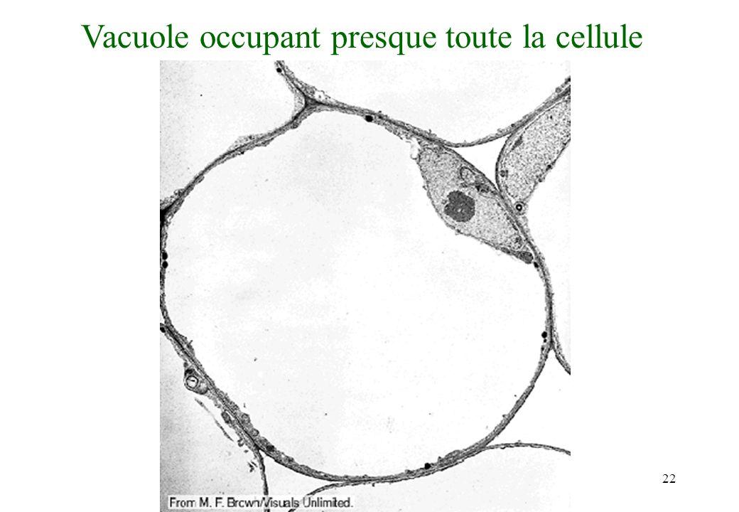 Vacuole occupant presque toute la cellule