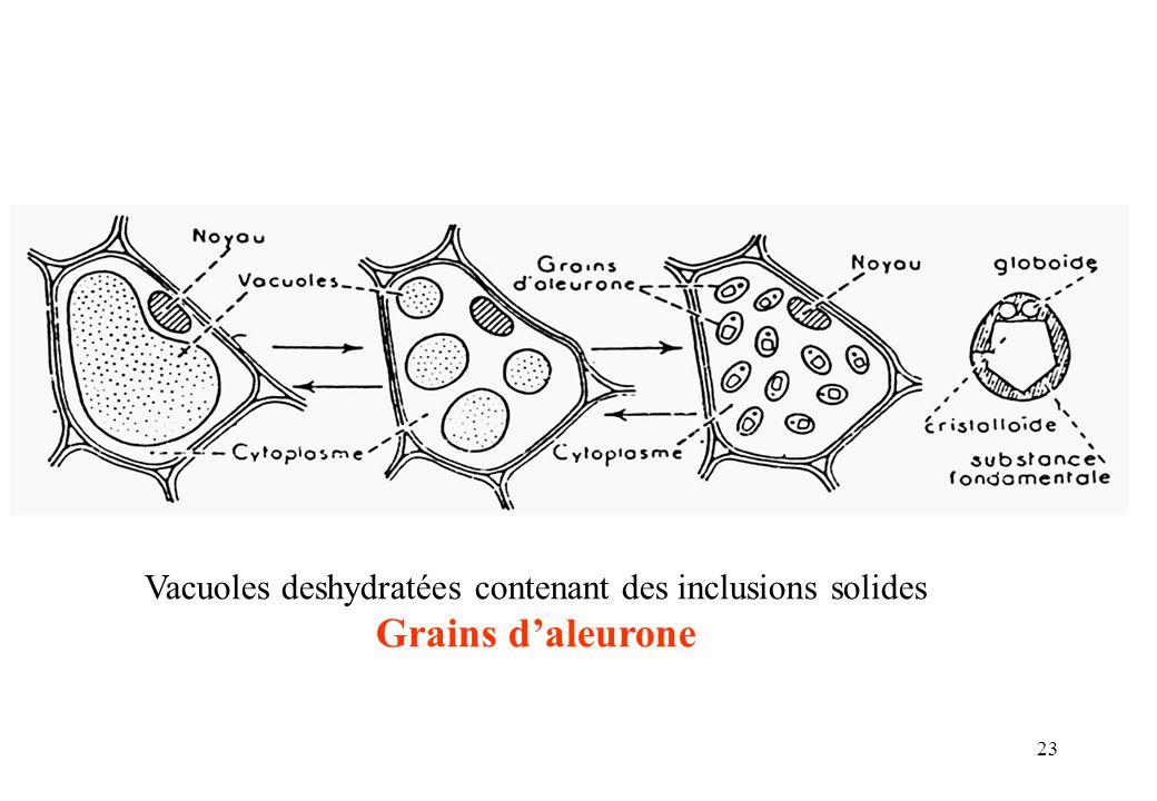 Vacuoles deshydratées contenant des inclusions solides