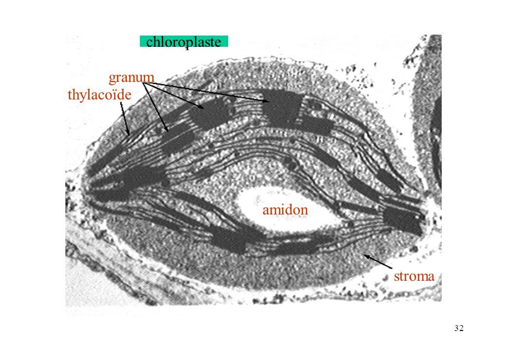chloroplaste granum thylacoïde amidon stroma