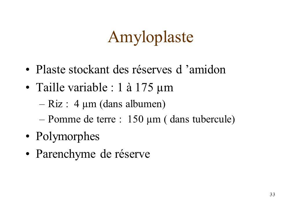 Amyloplaste Plaste stockant des réserves d 'amidon