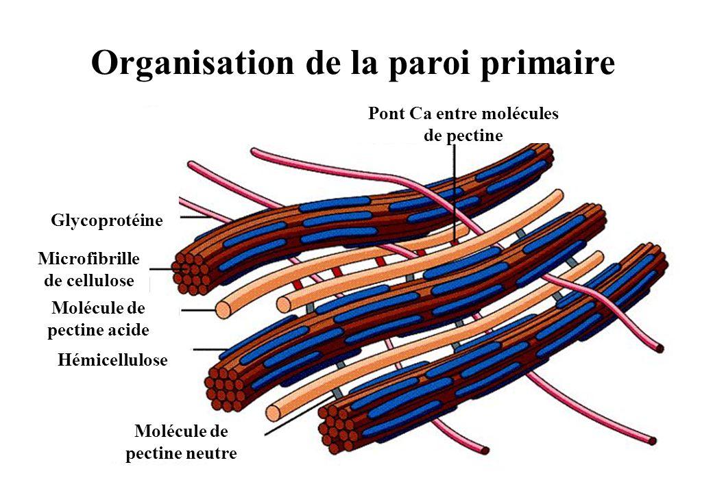 Organisation de la paroi primaire Pont Ca entre molécules