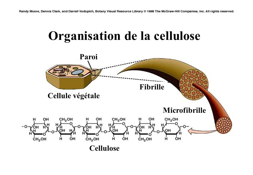 Organisation de la cellulose