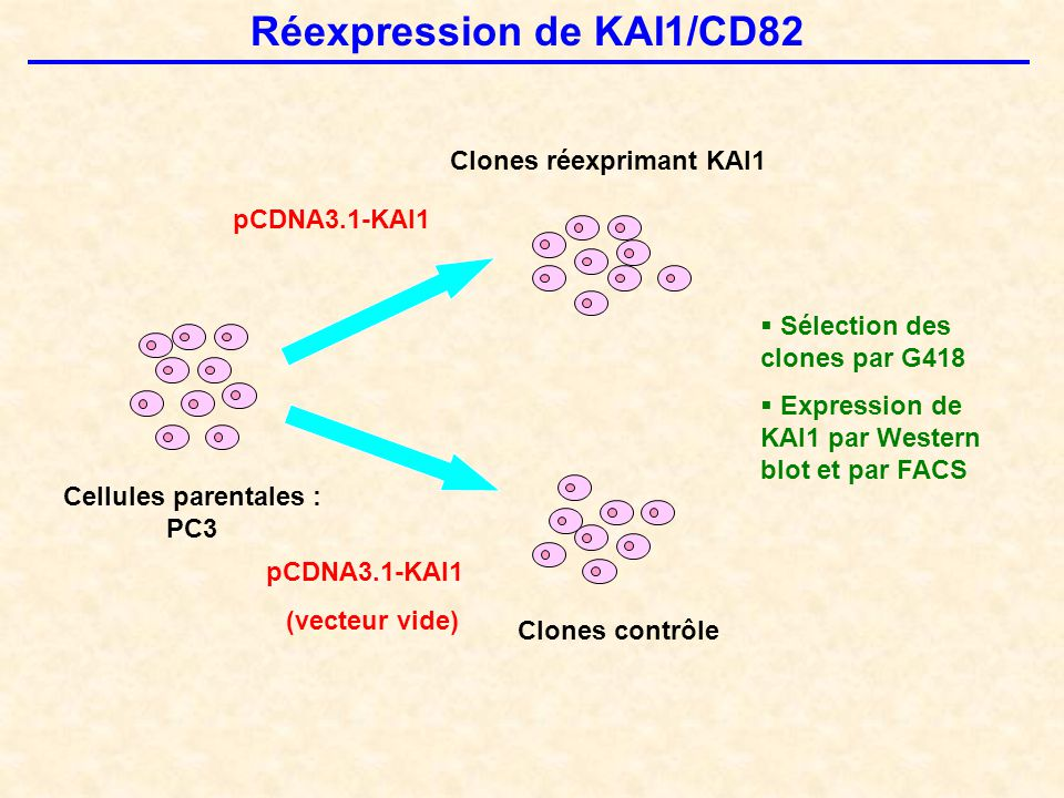 Cellules parentales : PC3