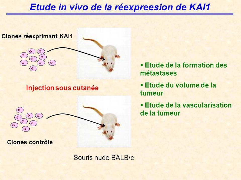 Etude in vivo de la réexpreesion de KAI1