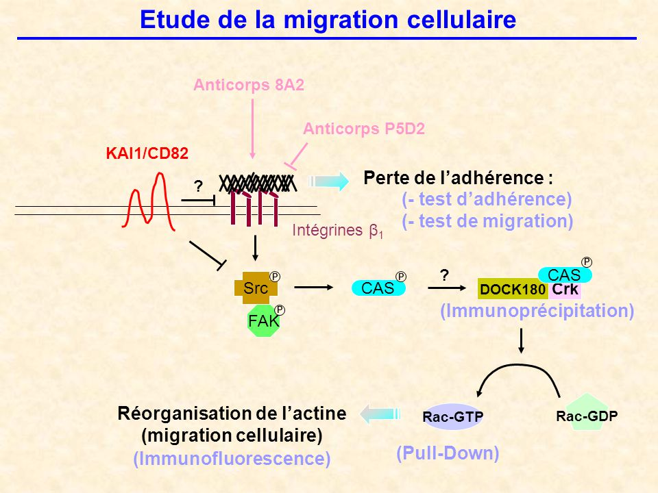 Etude de la migration cellulaire