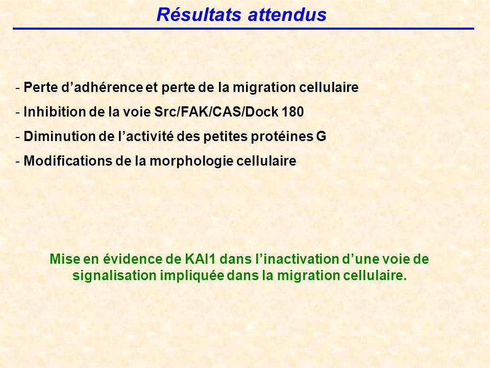 Résultats attendus Perte d'adhérence et perte de la migration cellulaire. Inhibition de la voie Src/FAK/CAS/Dock 180.