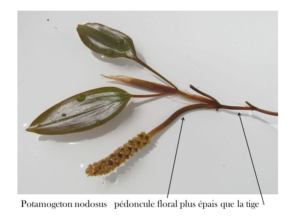 Potamogeton nodosus pédoncule floral plus épais que la tige