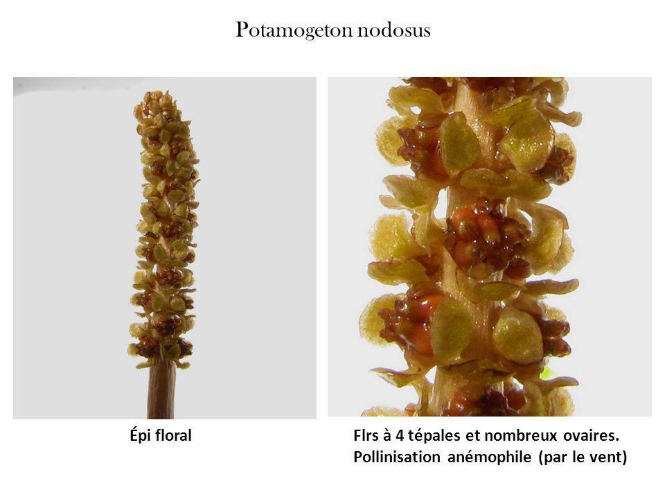 Potamogeton nodosus Épi floral Flrs à 4 tépales et nombreux ovaires.