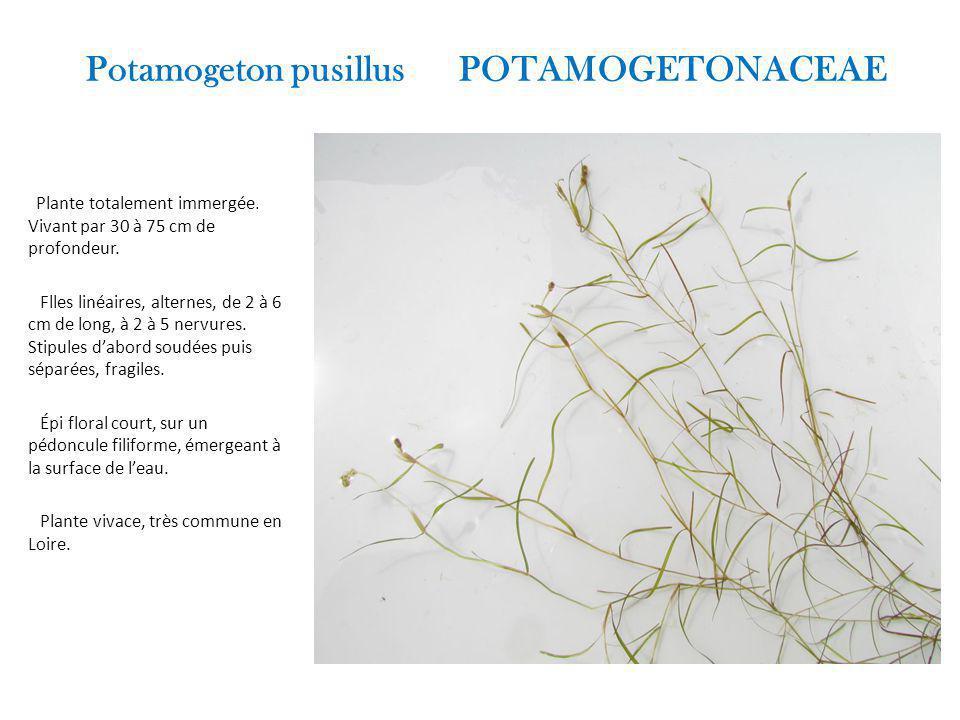 Potamogeton pusillus POTAMOGETONACEAE