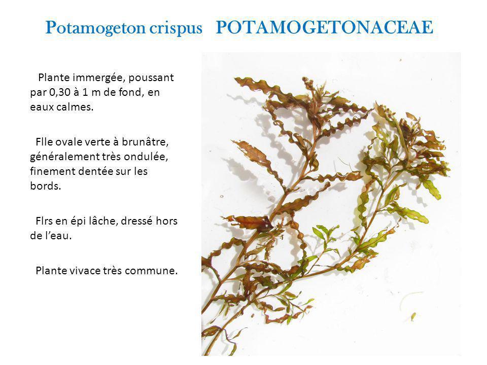 Potamogeton crispus POTAMOGETONACEAE