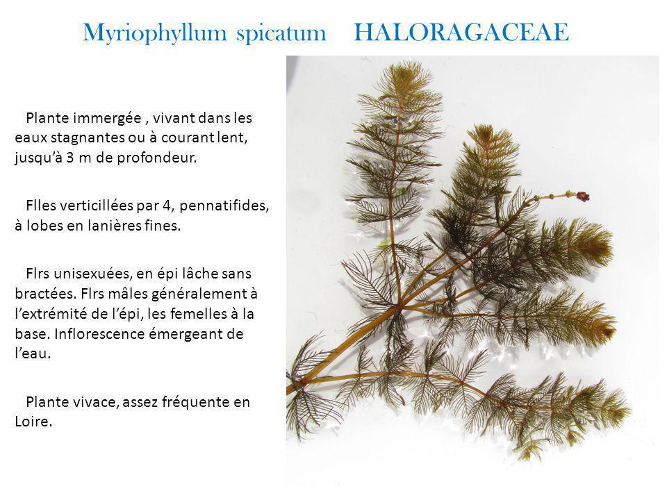 Myriophyllum spicatum HALORAGACEAE