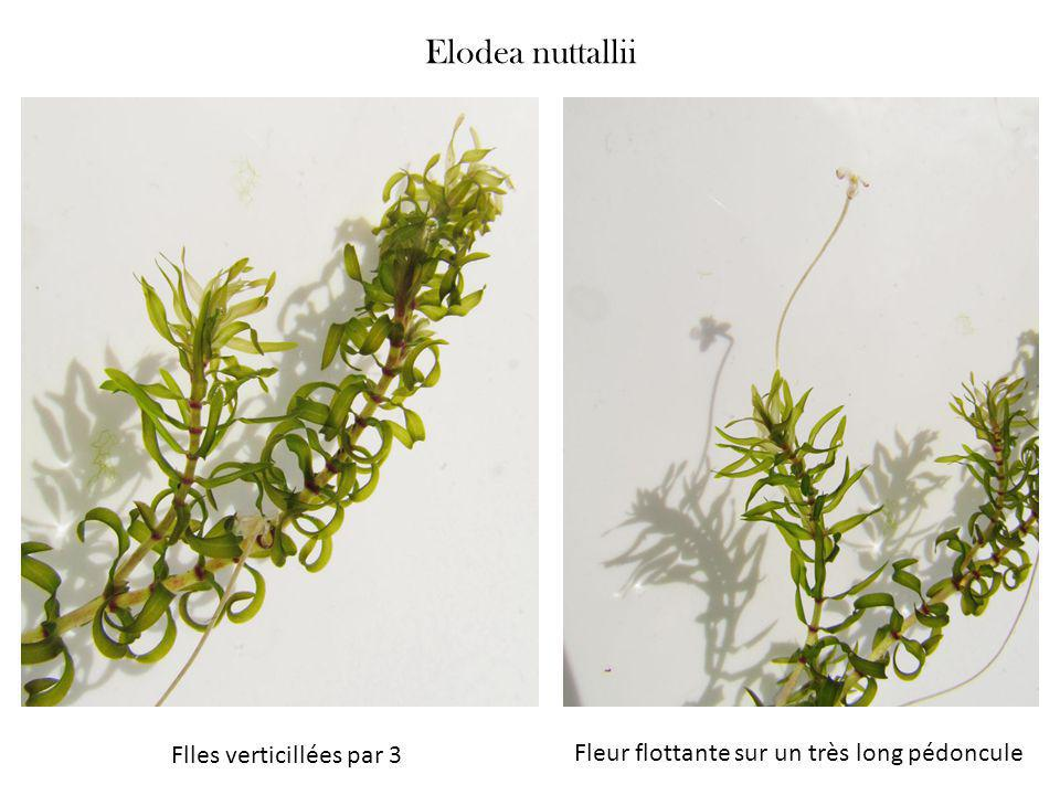 Elodea nuttallii Flles verticillées par 3
