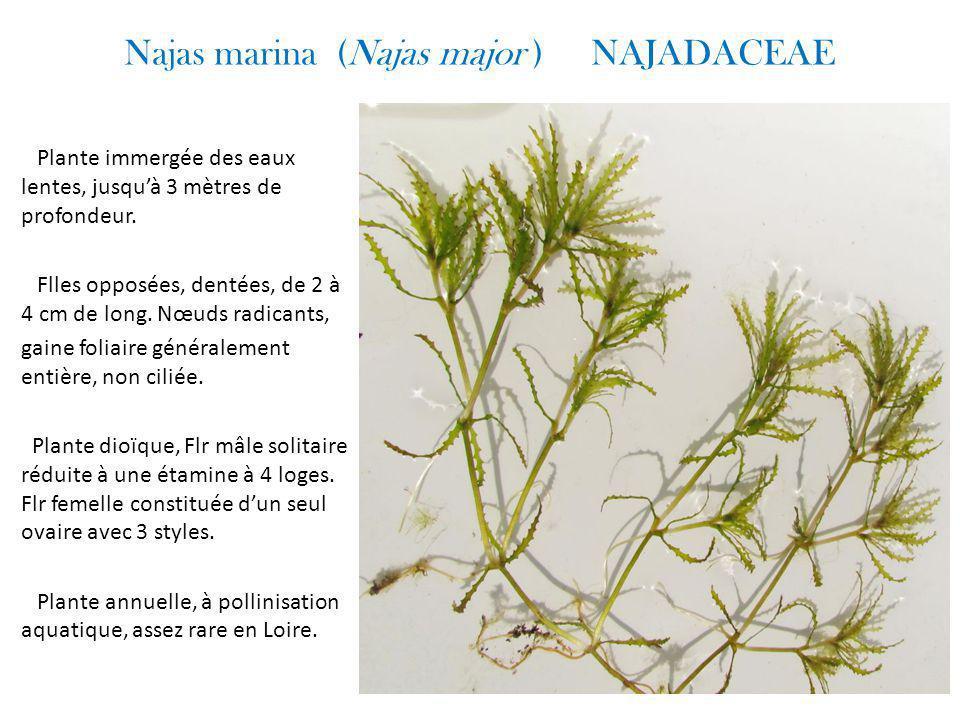 Najas marina (Najas major ) NAJADACEAE