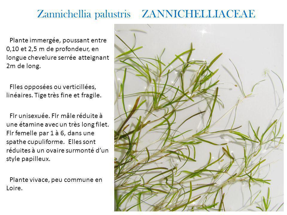 Zannichellia palustris ZANNICHELLIACEAE