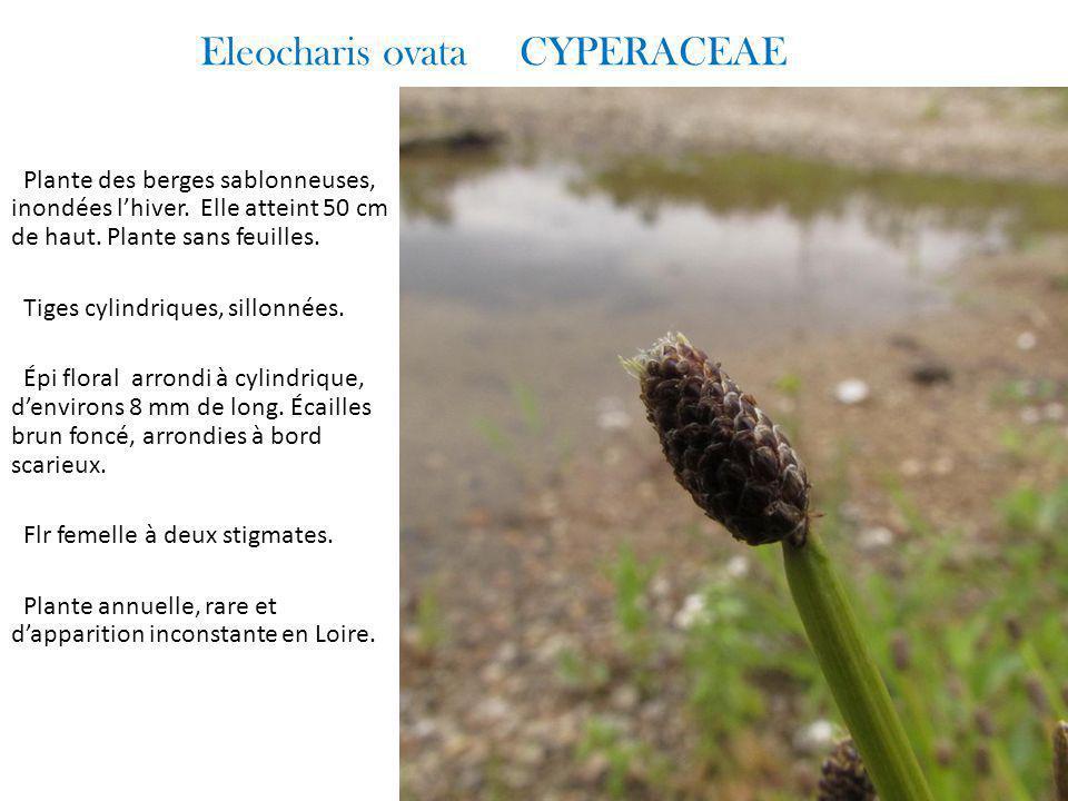 Eleocharis ovata CYPERACEAE