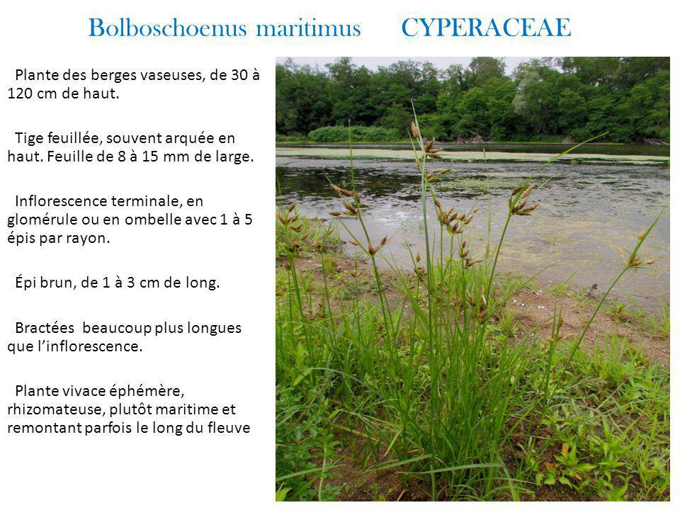 Bolboschoenus maritimus CYPERACEAE