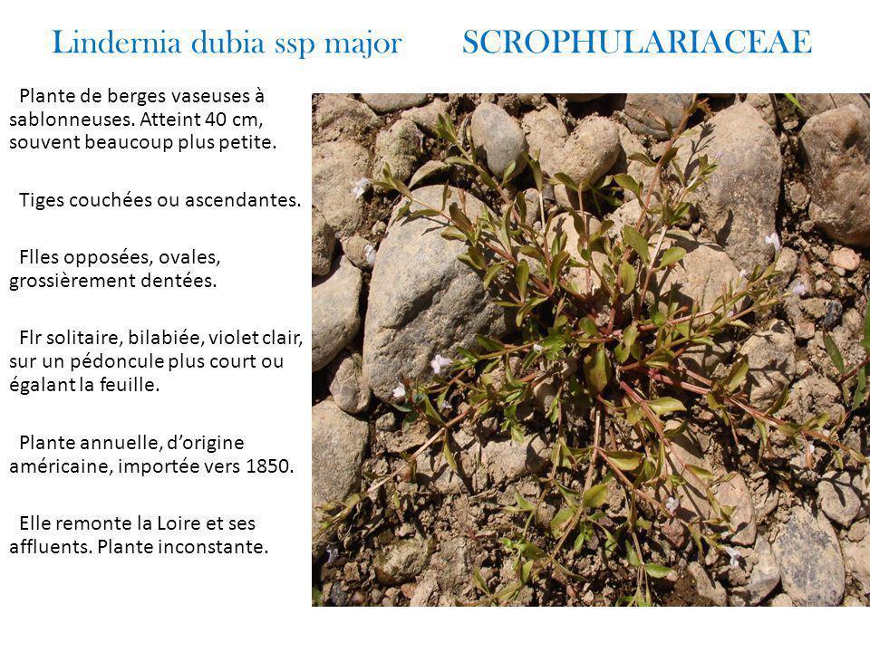 Lindernia dubia ssp major SCROPHULARIACEAE