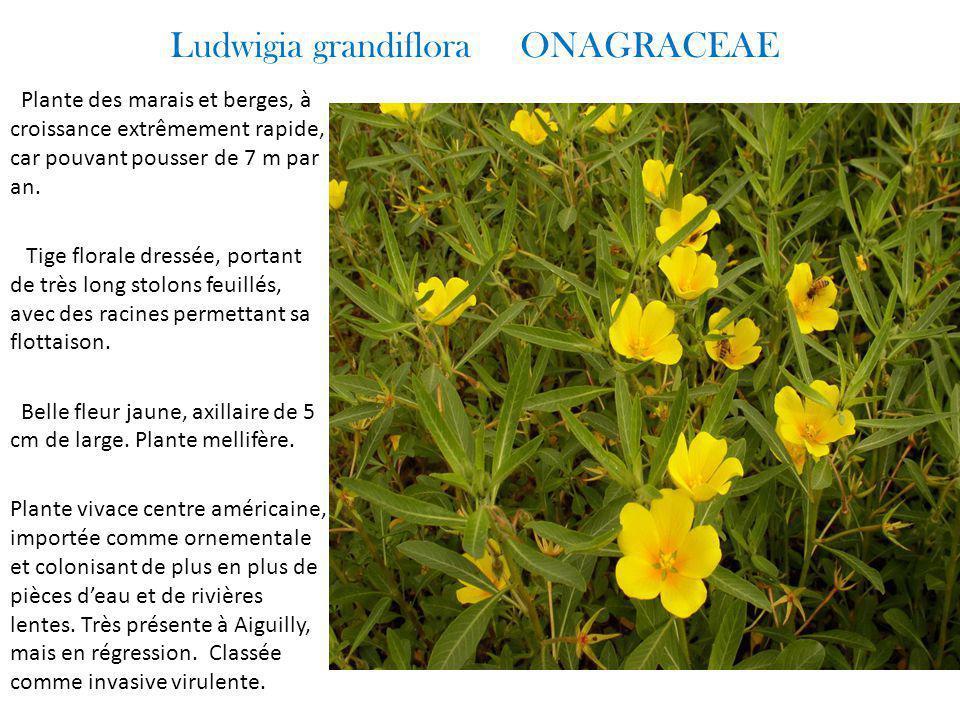 Ludwigia grandiflora ONAGRACEAE