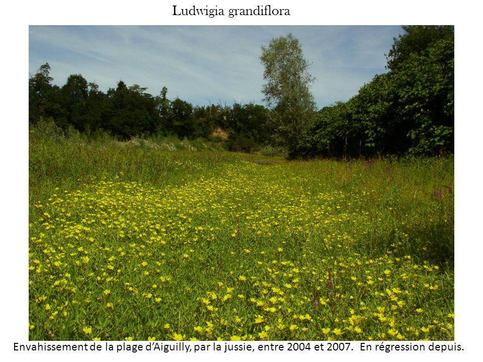 Ludwigia grandiflora Envahissement de la plage d'Aiguilly, par la jussie, entre 2004 et 2007.
