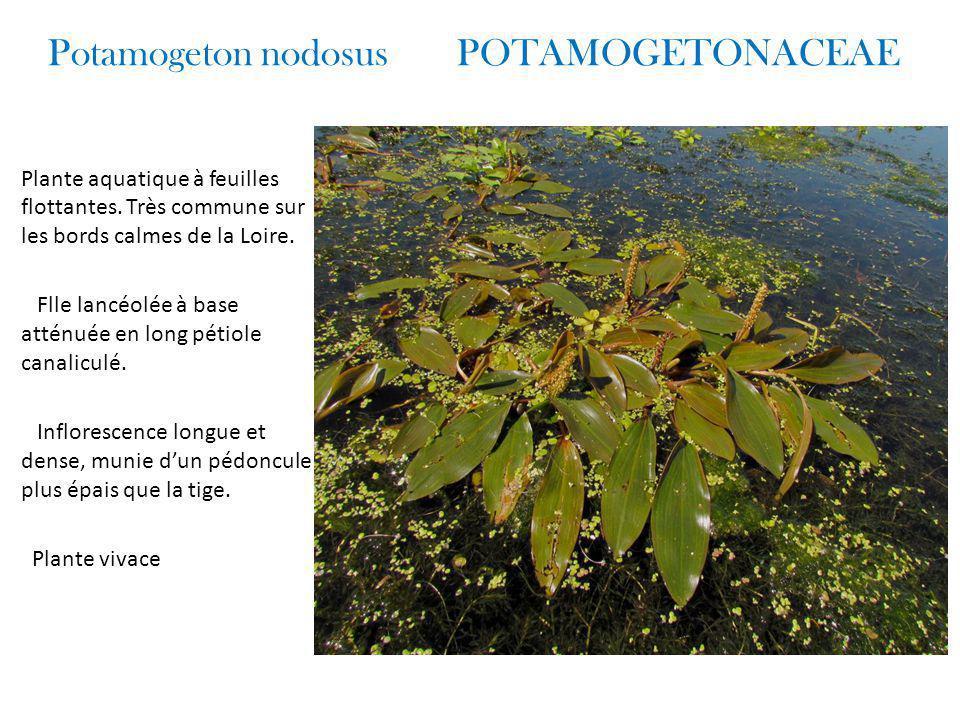 Potamogeton nodosus POTAMOGETONACEAE