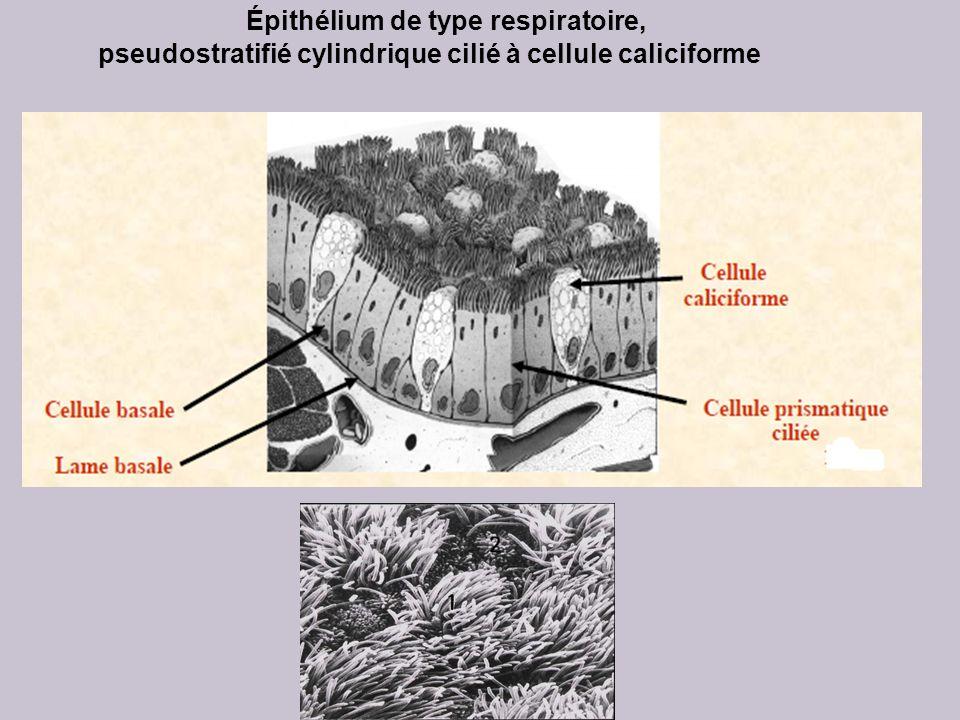 Épithélium de type respiratoire,