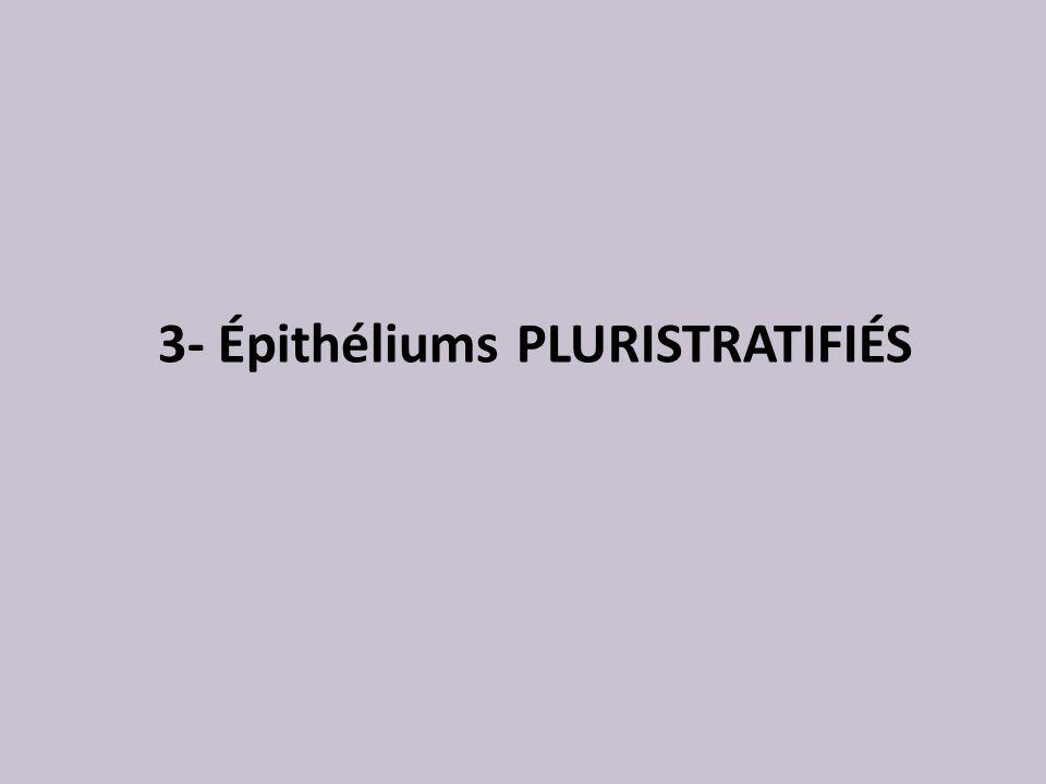 3- Épithéliums PLURISTRATIFIÉS