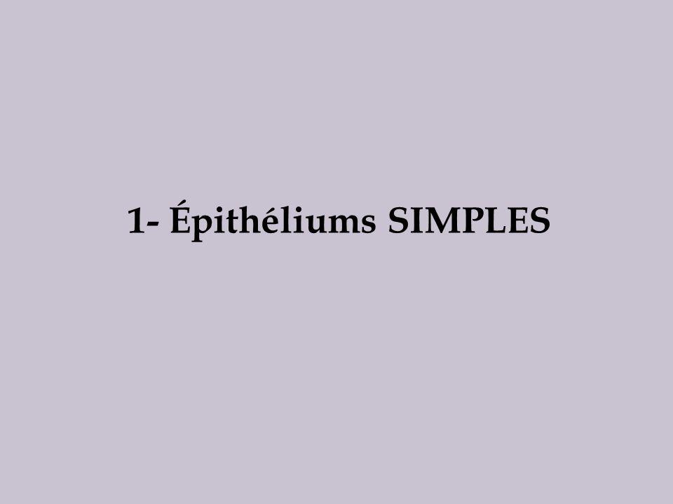 1- Épithéliums SIMPLES