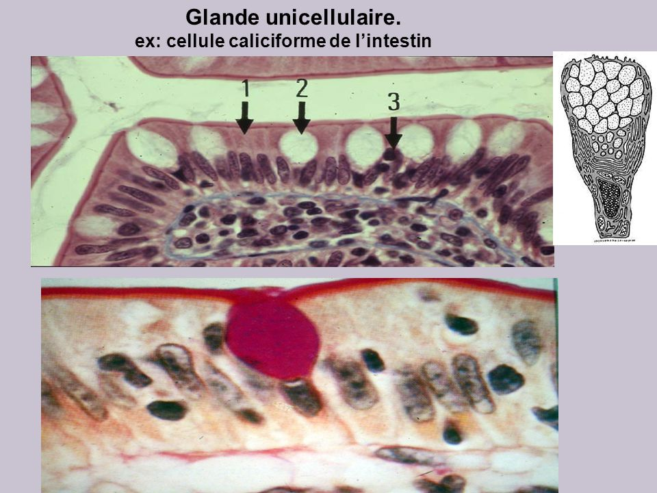 Glande unicellulaire. ex: cellule caliciforme de l'intestin