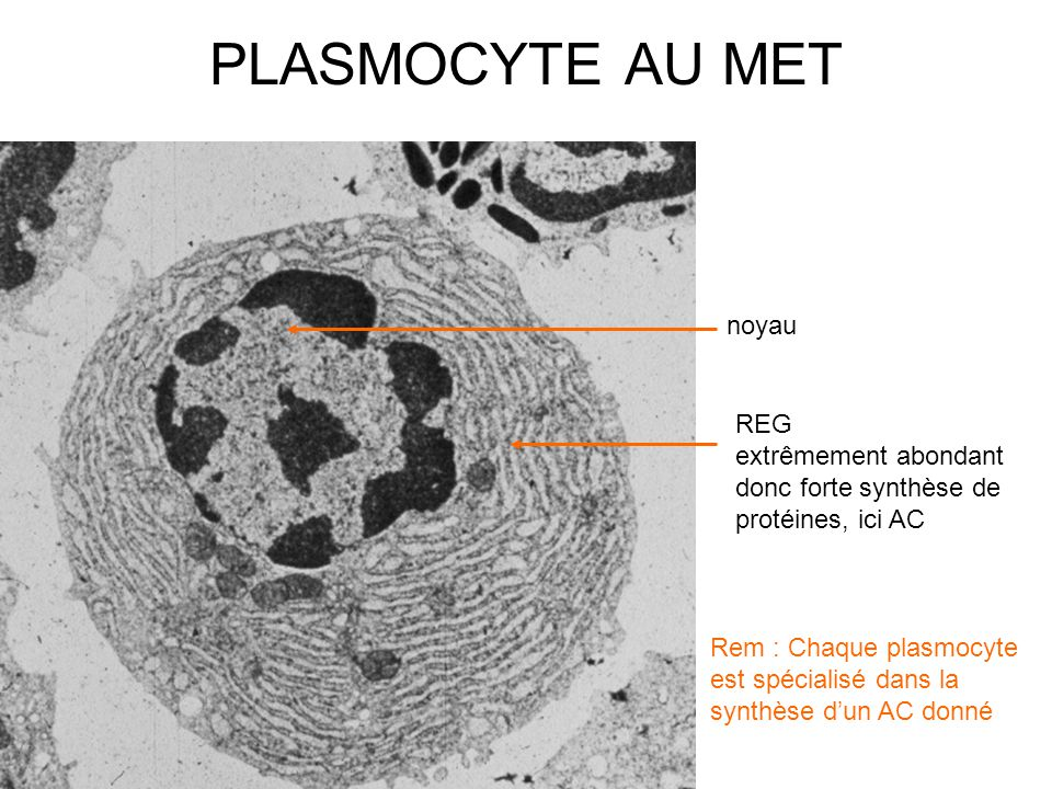 PLASMOCYTE AU MET noyau REG
