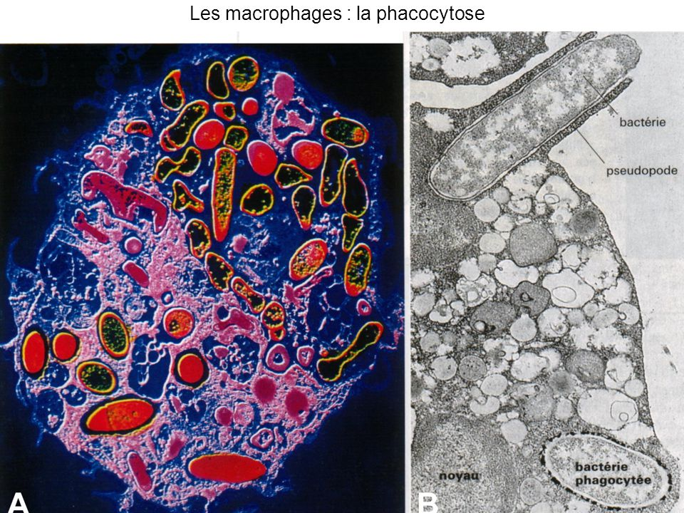 Les macrophages : la phacocytose