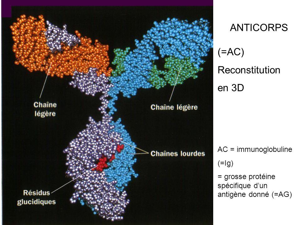 ANTICORPS (=AC) Reconstitution en 3D AC = immunoglobuline (=Ig)