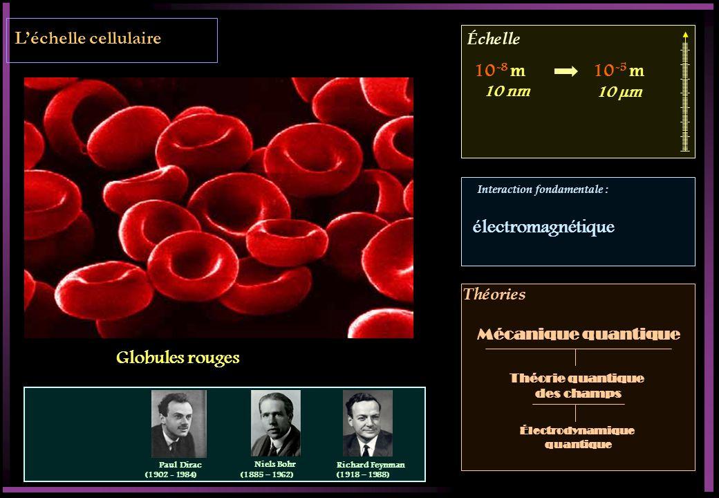 L'échelle cellulaire 10-8 m 10-5 m électromagnétique Globules rouges