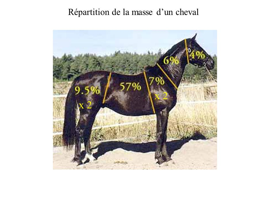 Répartition de la masse d'un cheval