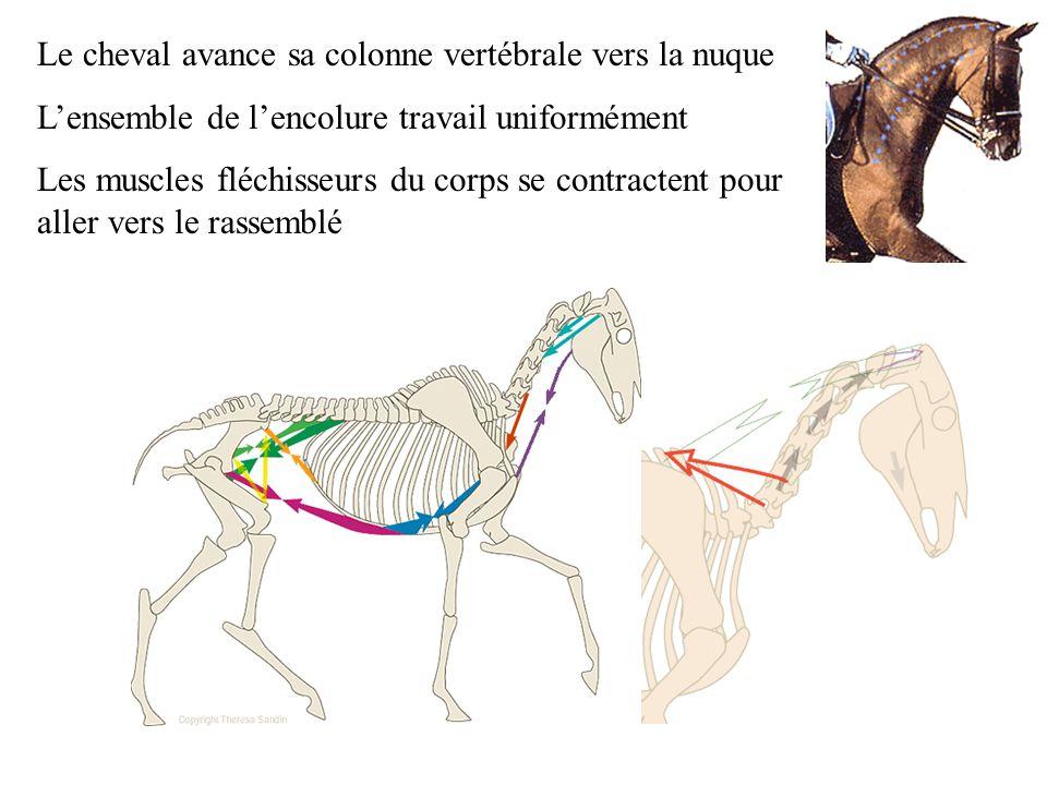 Le cheval avance sa colonne vertébrale vers la nuque