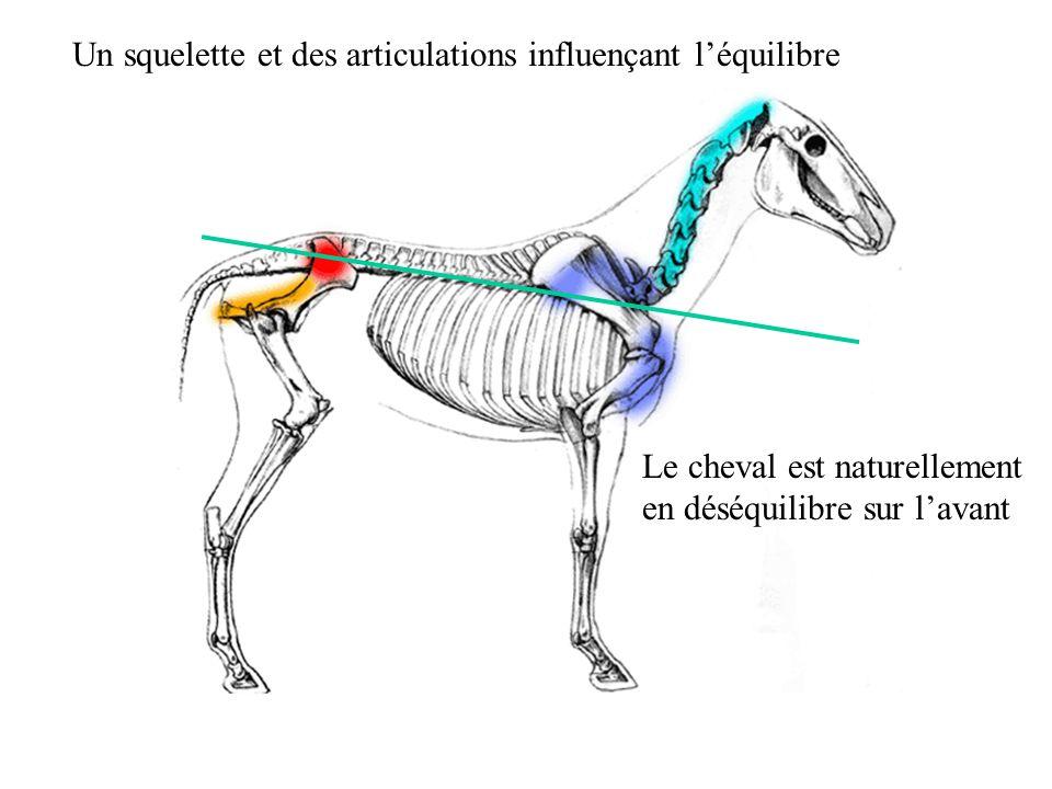 Un squelette et des articulations influençant l'équilibre