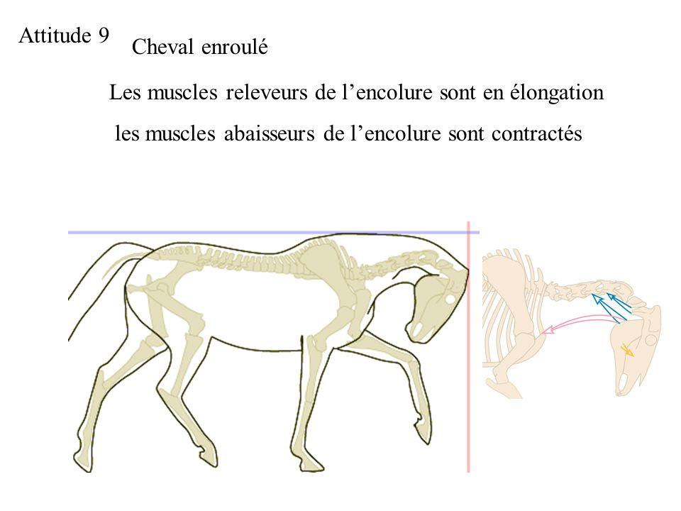 Attitude 9 Cheval enroulé. Les muscles releveurs de l'encolure sont en élongation.