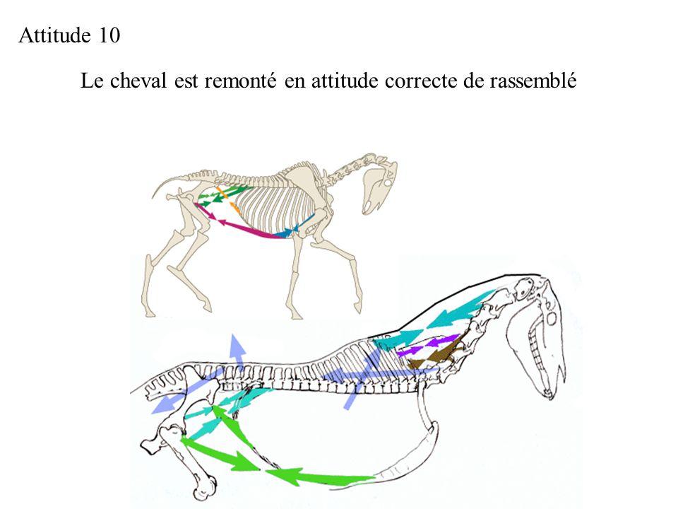 Attitude 10 Le cheval est remonté en attitude correcte de rassemblé