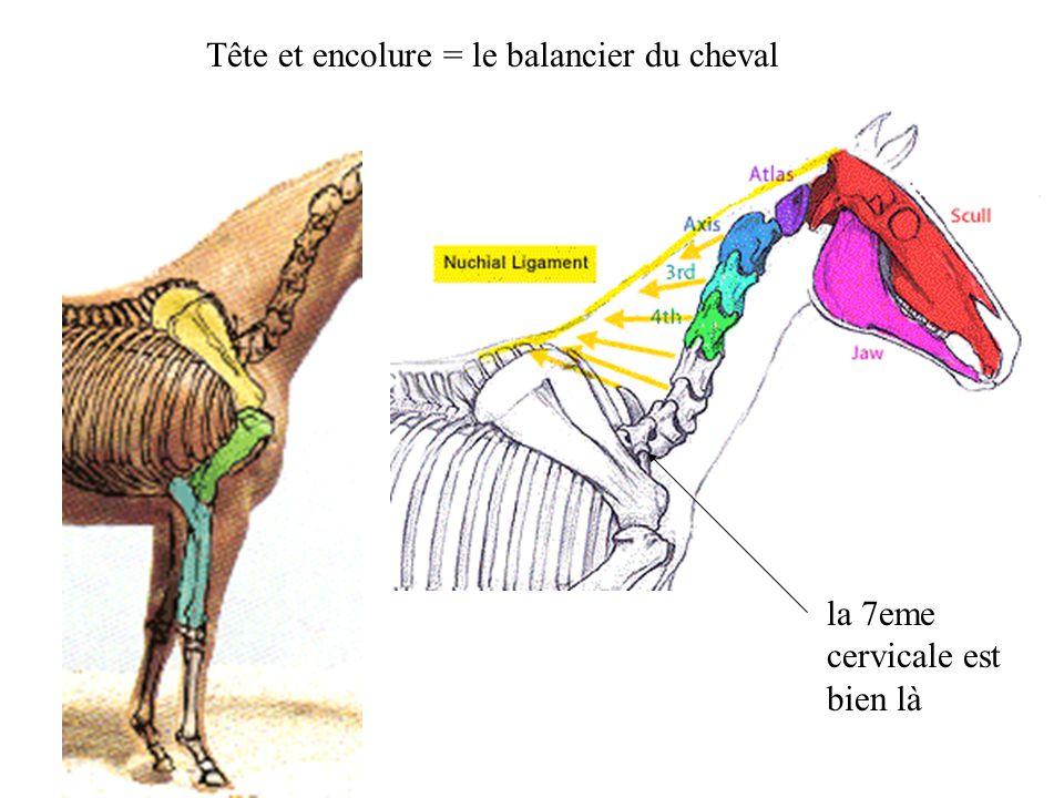 Tête et encolure = le balancier du cheval