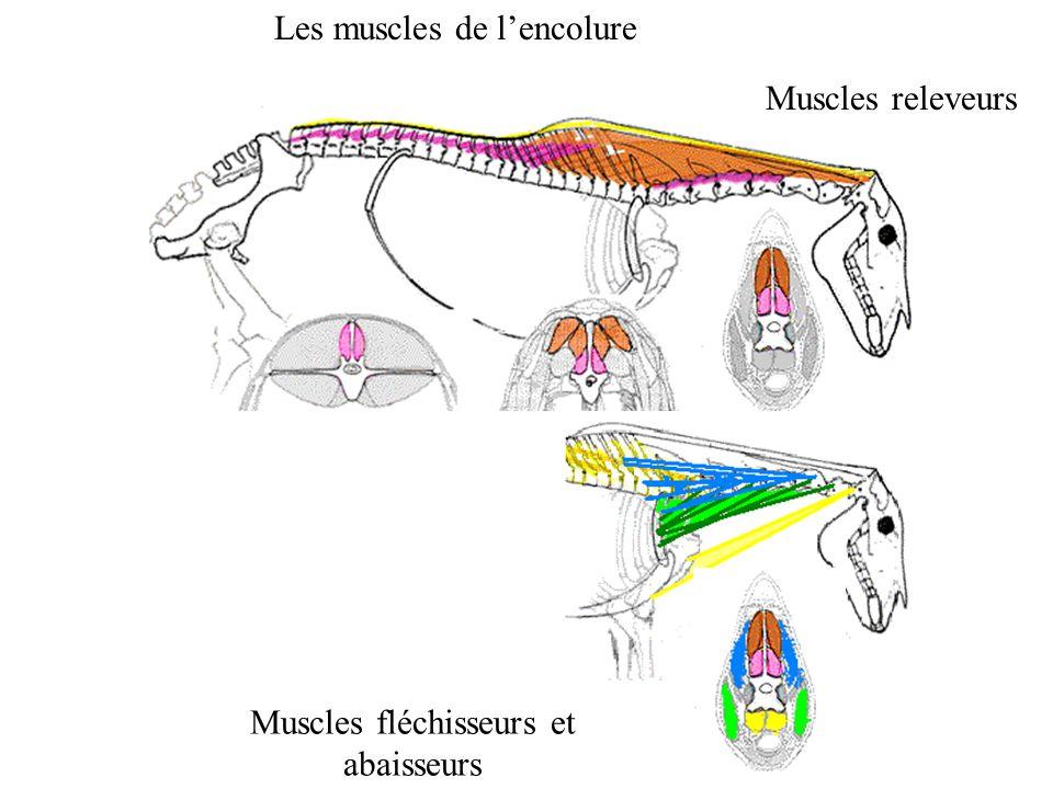 Muscles fléchisseurs et abaisseurs