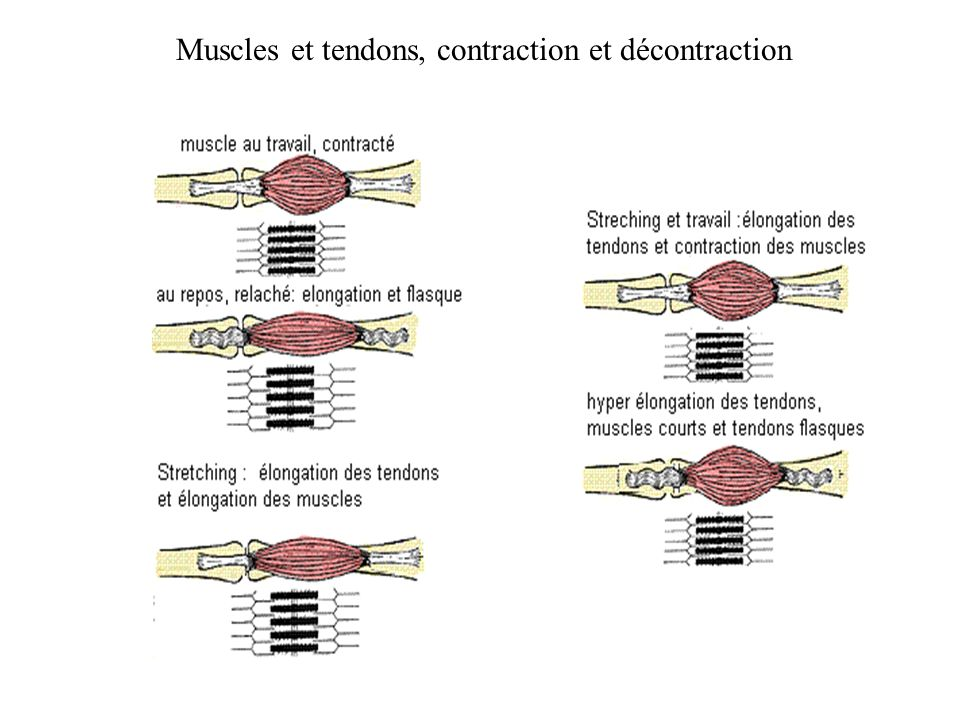 Muscles et tendons, contraction et décontraction