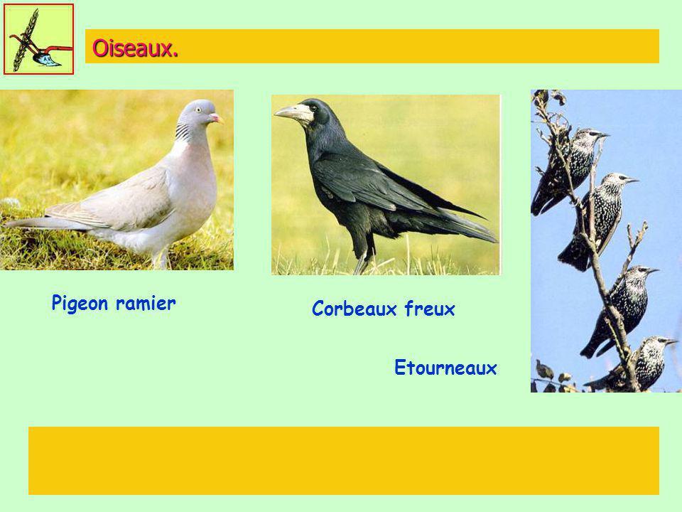 Oiseaux. Pigeon ramier Corbeaux freux Etourneaux