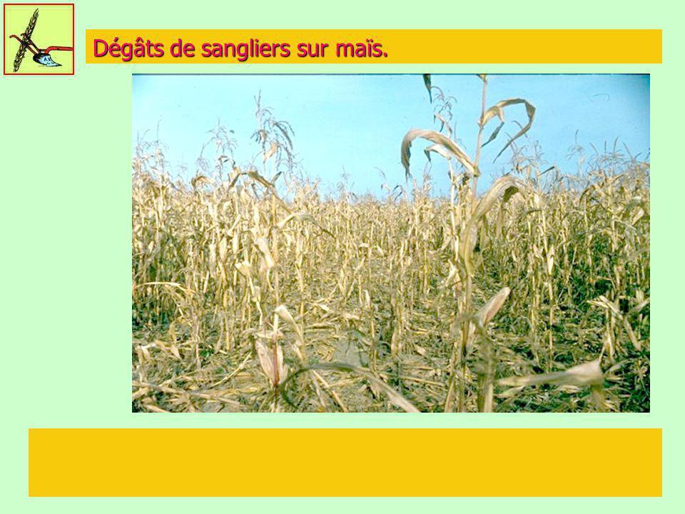 Dégâts de sangliers sur maïs.