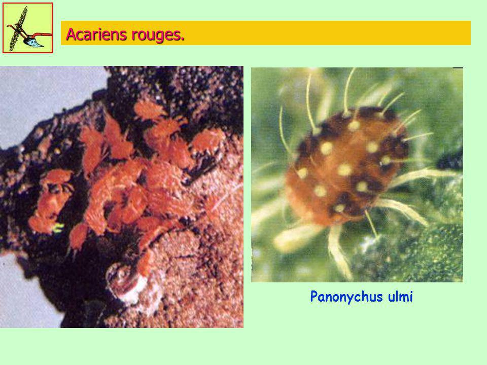Acariens rouges. Panonychus ulmi